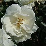 Schneeflocke® Bodendecker ADR Rose