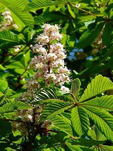 Rosskastanie Aesculus hippocastanum Pflanze 60cm Weiße Rosskastanie Kastanie