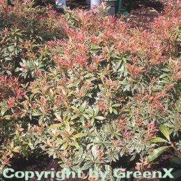 schattenglockchen-lavendelheide-little-heath-20-25cm-pieris-japonica