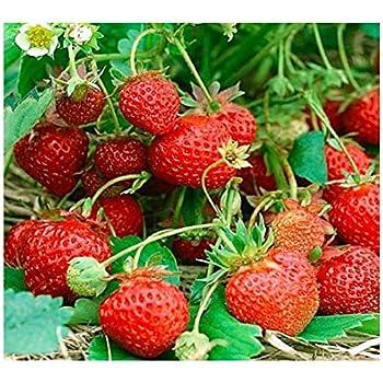 Franchi Seeds of ItalyStrawberry Fragola Quattro Stagioni Seeds