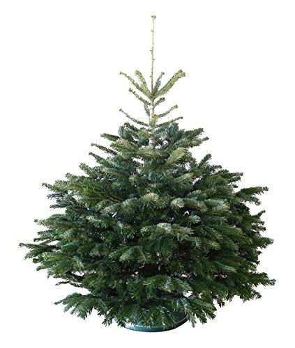 Echter Weihnachtsbaum Nordmanntanne H=ca. 1,45-1,60 m Premium frisch geschlagen