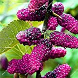 SEMI PLAT FIRM-Rare Juicy Fruit Lampone/gelso nero Delicious Seeds Frutas pianta piante Blooming Vasi Flower Street 200 pc 10
