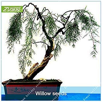 Bonsai-willow Tree (ASTONISH Erstaunen SEEDS: ZLKING 20pcs Willow Tree Pflanze Bonsai Samen Hardy Exoten schnell wachsenden Gartenpflanzen Evergreen Pflanzen)
