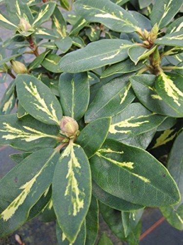 Rhododendron hybr. Goldflimmer