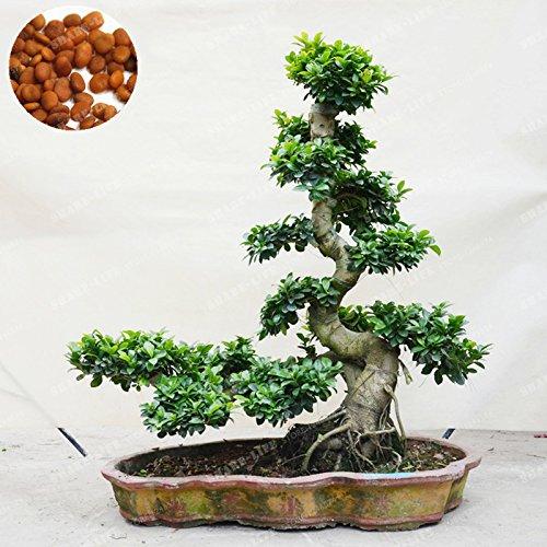 20PCS Exotic Bonsai Baum Banyan Baum Samen Schreibtisch Ficus Ginseng Samen Mehrjährig Ficus Feige der Angehende Rate 95%