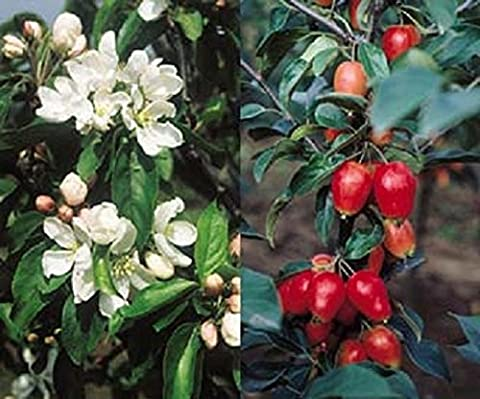 Malus John Downie Crab Apple Tree 5-6ft Supplied in a