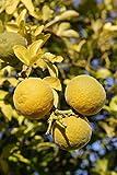 Orange Busch-Baum Dreiblättrige Orange sauer-bitter 100-120