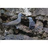 Photographic Print of Brown noddy (Anous stolidus) pair at nest site on Floreana Island, Galapagos