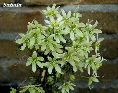 100 Pcs Clematis Graines de plantes Belle Paillage Graines de fleurs Bonsai ou un pot de fleurs vivaces pour jardin Mix Couleurs 4
