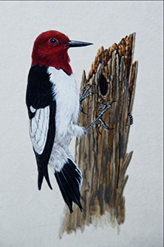 591079 Red headed Woodpecker A4 Photo Poster Print 10x8 -