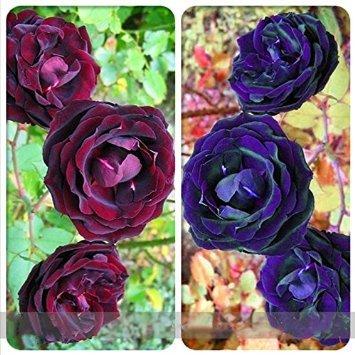 Galleria fotografica Dwqgroup misti viola blu Big Blooming Climbing semi di rosa Arbusto, Professional Service Pack, 50 semi/Pack, 100% Veri fiori rari