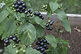 Solanum melanocerasum, Garden Huckleberry, 20 Samen, von unserer ungarischen Farm samenfest, nur organische Dünger, KEINE Pesztizide