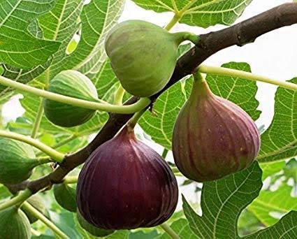Amazing Plant Anjeer-Common Fig Fruit Anjeer Live Plant With POT