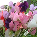 SeeKay - Sweet Pea - Mammoth Mixed - Appx 200 Seeds - Lathyrus