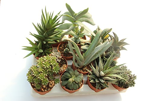 Piante grasse vere rare 11 piante 6 5 produzione viggiano for Piante rare