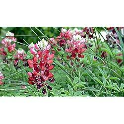 Portal Cool 20+ Red Texas Blaue Lupine Blumensamen/Lupine / Dürre Tolerant/Sehr selten!