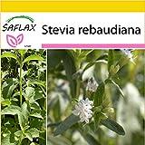 SAFLAX - Set de cultivo - Hierba dulce - 100 semillas - Stevia rebaudiana