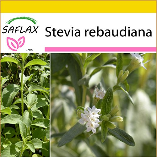 SAFLAX - Anzucht Set - Kräuter - Stevia Süßkraut - 100 Samen - Stevia rebaudiana