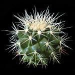 Echinocactus grusonii (Barrel Cactus) semi