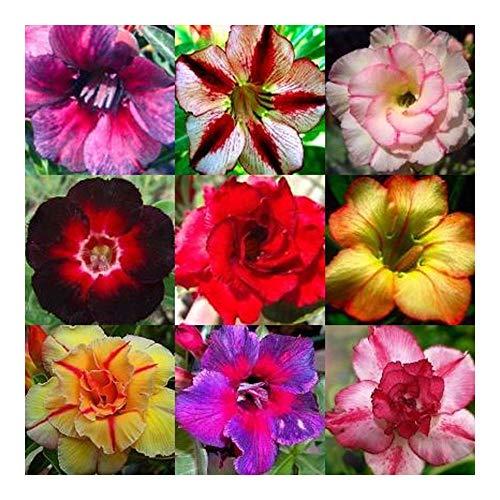 Adenium obesum - Wüstenrose gemischte Farben - 10 Samen