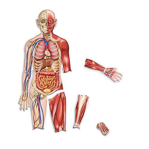 oppelseitiger Magnetischer Menschlicher Körper, (Die Menschlichen Organe)