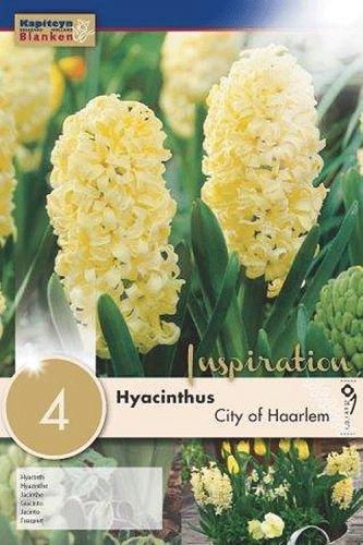 Hyazinthen City of Haarlem, 4 Stück