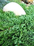 japanischer Kriechwacholder Juniperus procumbens Nana 25 - 30 cm breit im 3 Liter Pflanzcontainer