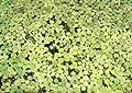 Wasserpflanzen 1 Portion Wasserlinsen, Lemna Minor, Aquarienpflanzen von aquariumpflanzen.net bei Du und dein Garten