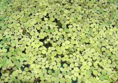 Wasserpflanzen 1 Portion Wasserlinsen, Lemna Minor, Aquarienpflanzen