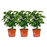 3 Pflanzen Coffea arabica im Angebot, circa 30 cm +/- Kaffeepflanze, Kaffee selbst anbauen, für Kaffeetrinker und Kaffeeliebhaber, pflegeleicht - daher super geeignet als Geschenk oder Spaß im Büro oder zu Hause, für Anfänger, Kaffeebohnen, eigener Kaffee
