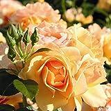 Rose 'Hansestadt Rostock' - Beetrose bernstein- bis apricotfarbene Blüten - Orange Rose Pflanze Winterhart Halbschattig gesundes Laub - von Garten Schlüter - Pflanzen in Top Qualität