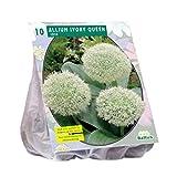 10 x Allium Ivory Queen Blumenzwiebel