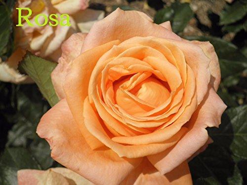 Rosa por minofe