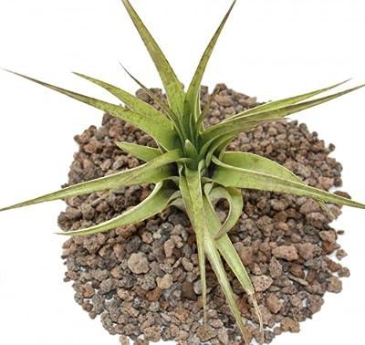 Tillandsia brachycaulos multiflora - lose Pflanze gross