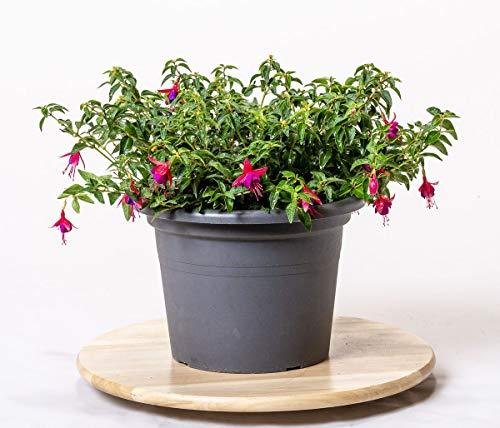 Pflanzmich Tom Thumb Fuchsie 30-40cm im 3 Liter Container, Mittelgrün, Dunkelgrün, Rot-violett