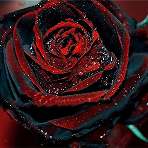 Rose Rose Blumen