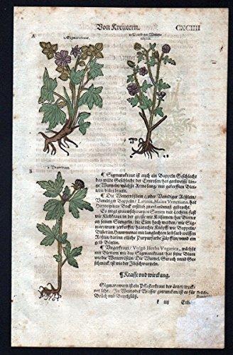 Zypressenkraut Heiligenkraut Holzschnitt Kräuterbuch Kräuter herbal