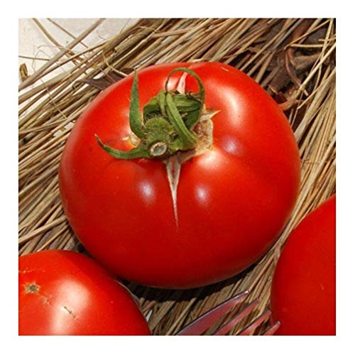 Premier Seeds Direct Saint Pierre Tomate enthaelt 120 Samen