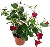 Dipladenia 'Sundaville Red' am Spalier - wunderschöne Kletterpflanze mit außergewöhnlichen dunkelroten Blüten - ideal für Garten, Balkon oder Terrasse