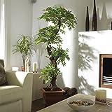 Elegante artificiale giapponese fruticosa Albero , Grande lusso Replica / Falso Indoor Plant - 5ft 4 pollici / 165 centimetri alto . Perfetto per la casa o l'ufficio