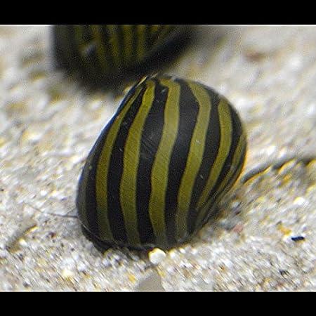 Vittina Coromandeliana – Zebra Rennschnecke – 10 Stück Algenkiller Inklusive 1 Futterprobe Von Der Bayerischen…