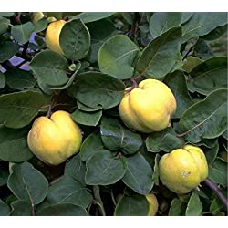 Fruchtbengel, Quitte Konstantinopler, Cydonia, feinkörnig, hocharomatisch, mild