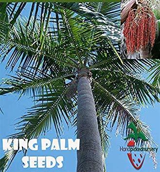 Keimfutter: 10 König Palm Seeds (Archontophoenix cunnighamiana) von Hand gepflückt Nursery (Von Hand Gepflückt)