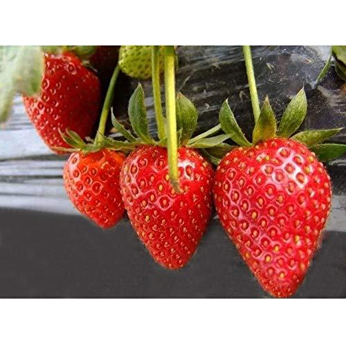 Semi di fragola, semi di piante da frutto fragola per giardino domestico-100pz