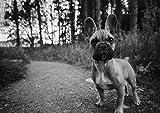Französische Bulldogge (15)–Amazing Poster mit Hund–Puppy–Lovely–Beste Qualität–Poster, NEU–Beste Bild–Best Preis–Größe A4