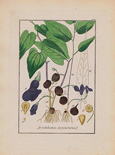 Pfeifenblume Aristolochia Kräuter Heilkräuter herbal herbs Kupferstich