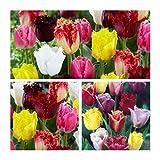 Humphreys Garden Darwin Hybrid Tulip Tulipano Mixed x 30 Bulbs bulbi da fiore Size 10/11