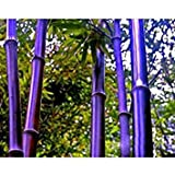 Rare Semi Purple Bamboo Decorative Garden Lucky Bamboo Garden piante Semi - 10pcs / lot