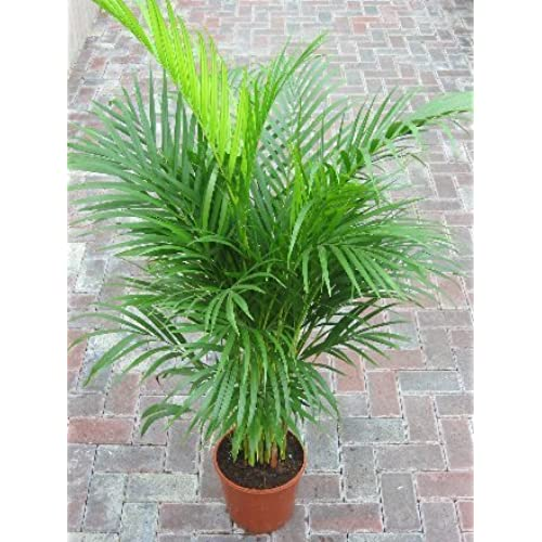 achat plante interieur plante d 39 int rieur yucca 2 troncs pot blanc vente tuteur pour. Black Bedroom Furniture Sets. Home Design Ideas