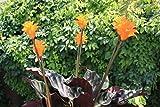 Portal Cool 1 (1 Pianta): Calathea crocata Eternal Flame pianta 9cm Pot la Descrizione Che